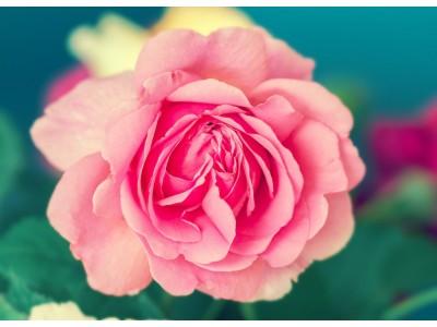 Pétales de Rose Terroir